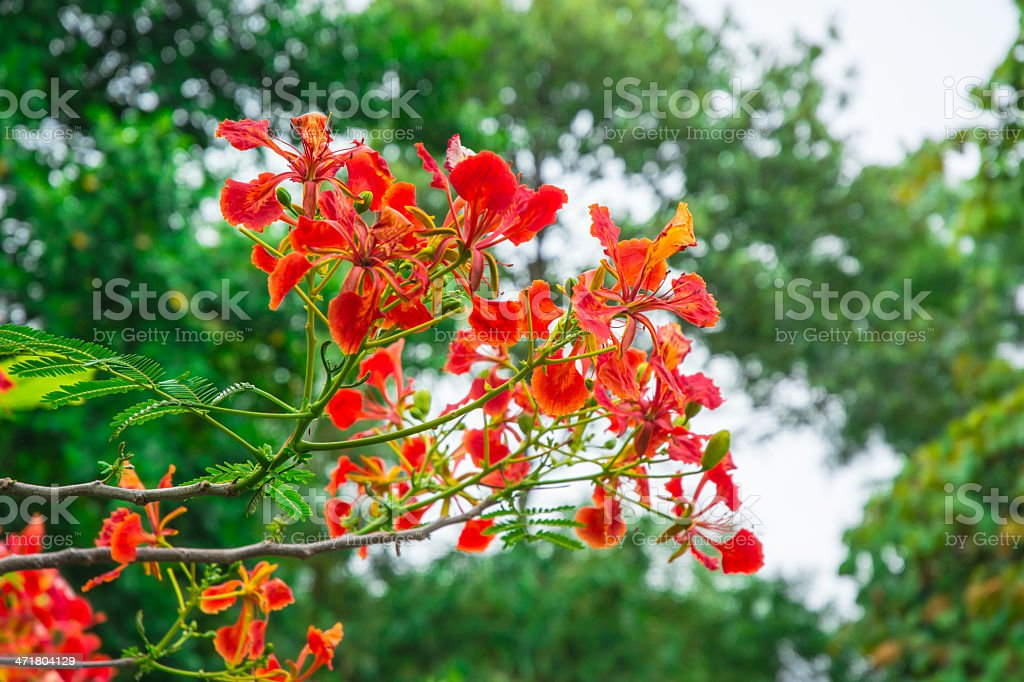 red flower blooming royalty-free stock photo