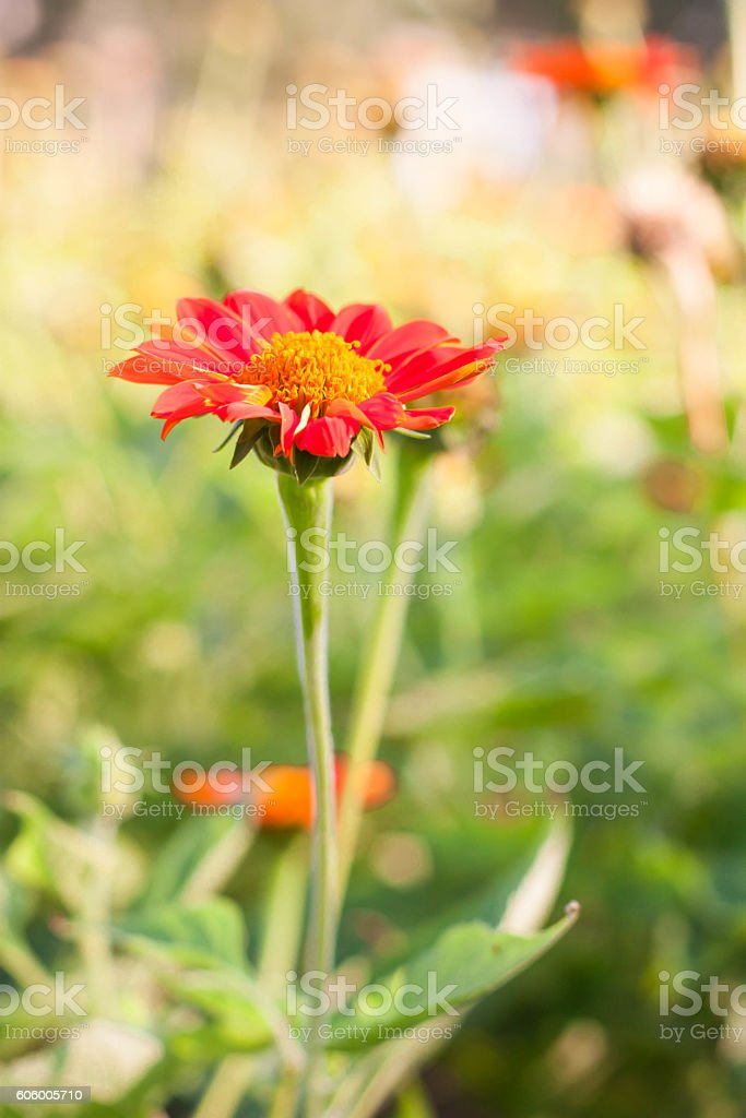 Red Flower Blooming Spring Time. stock photo