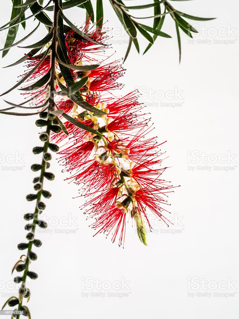 Red Flower Bottle Brush, Callistemon citrinus stock photo