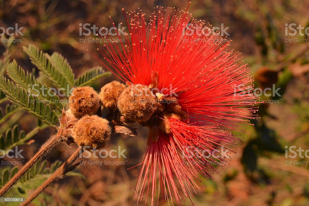 Red Flower Calliandra stock photo