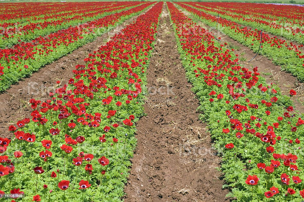 red flower field royalty-free stock photo