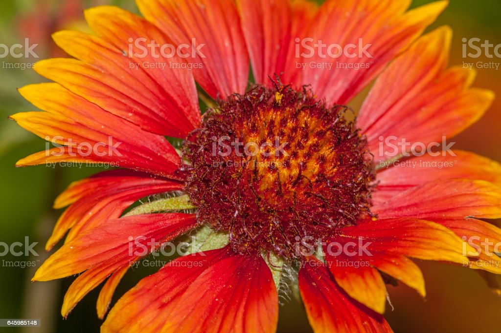 Red flower Helenium autumnale stock photo