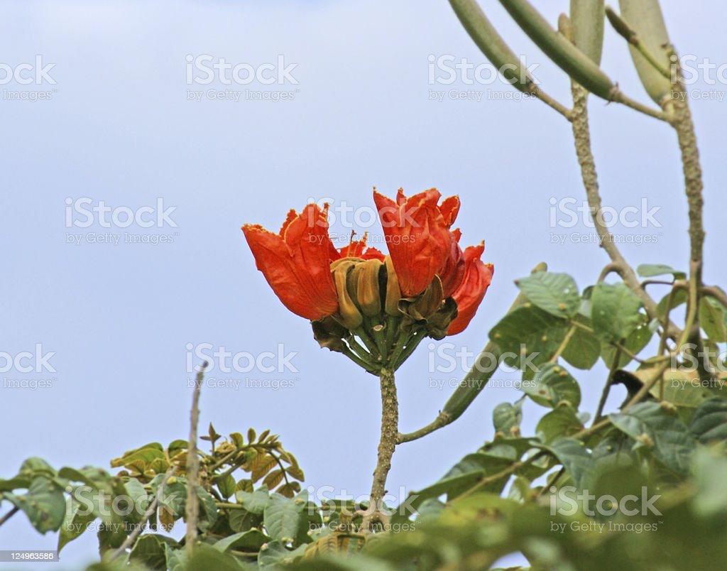red flower in Africa royalty-free stock photo