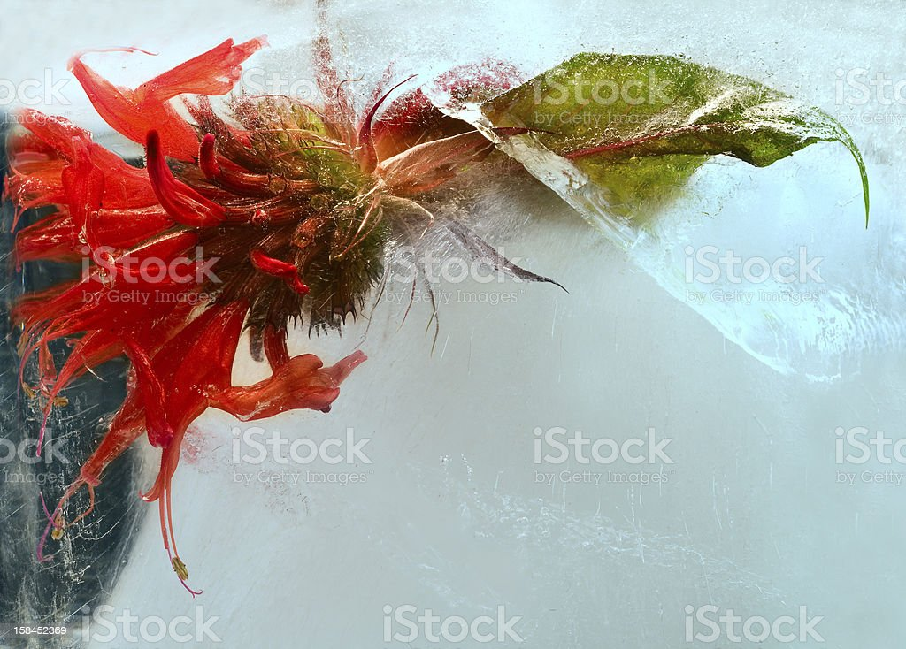 red flower in ice stock photo