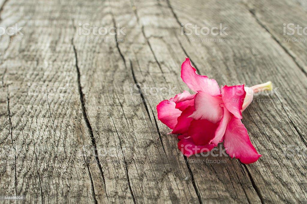 Red flower of a desert rose (Adenium obesum) stock photo