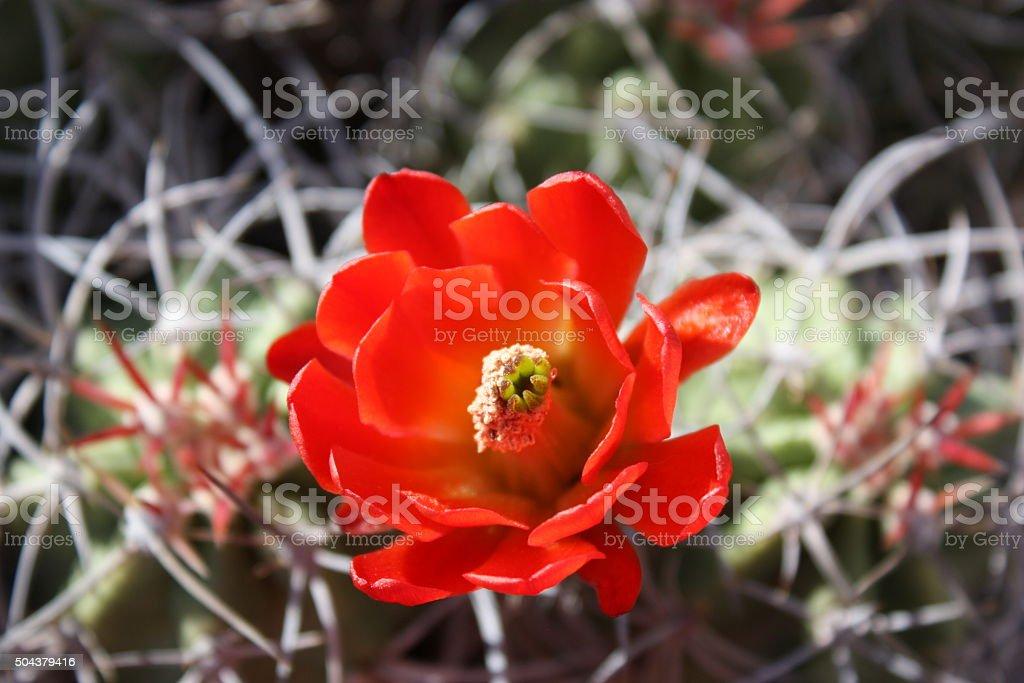 Red Flower of Echinocereus triglochidiatus, Saguaro National Park, USA stock photo