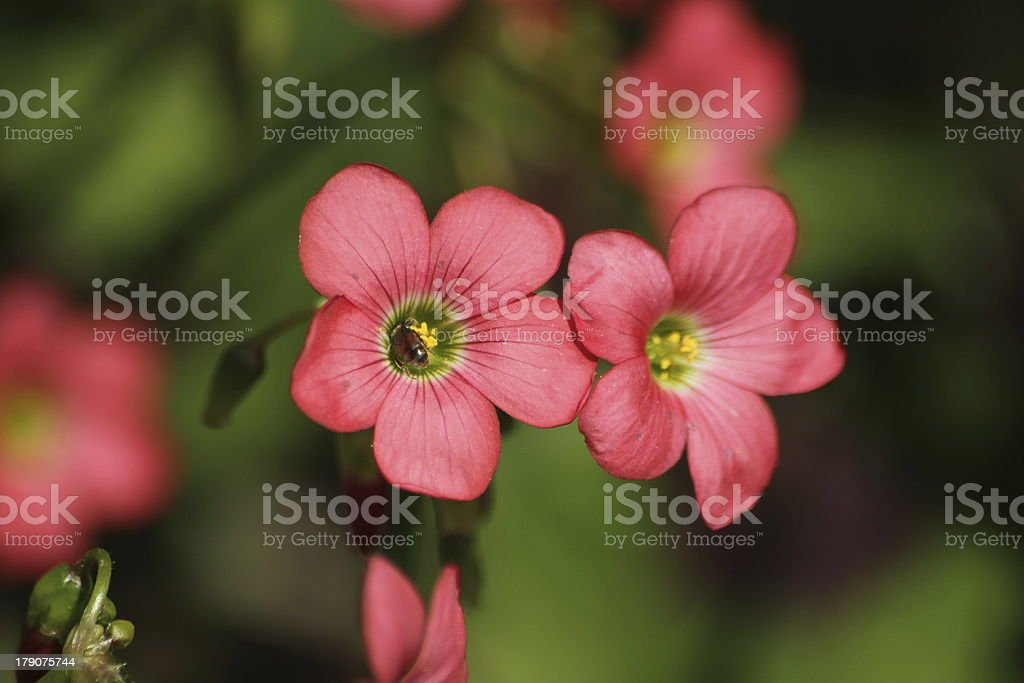 Red Flower of Four Leaved Clover with Insect royalty-free stock photo