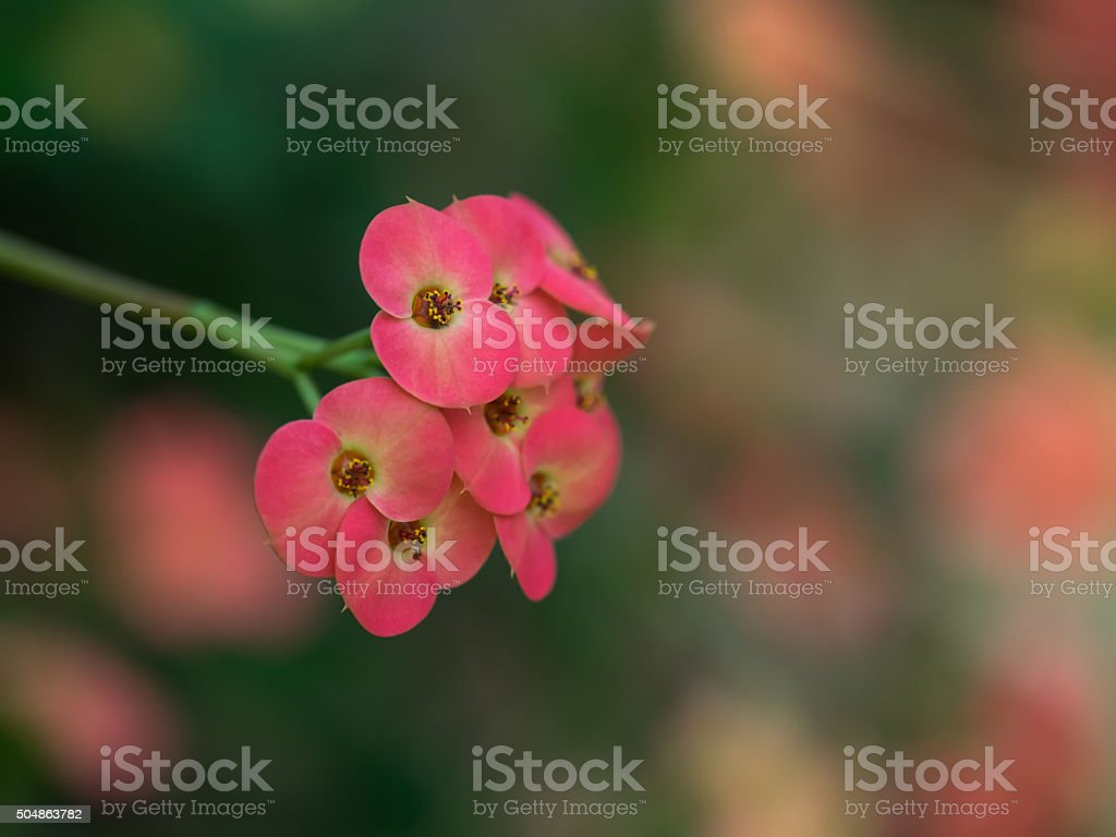 Red flower of the Euphorbia milii stock photo