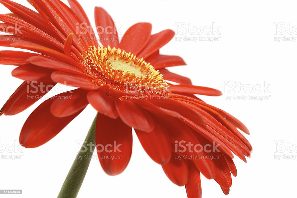 Red flower on a white background royalty-free stock photo