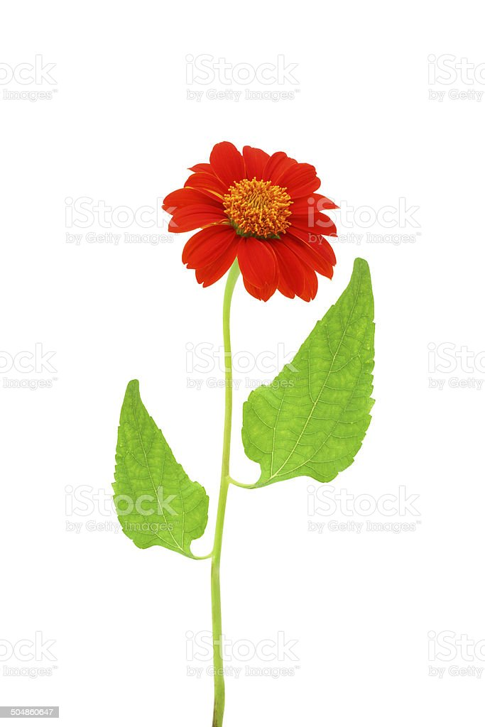 Red flower on white stock photo