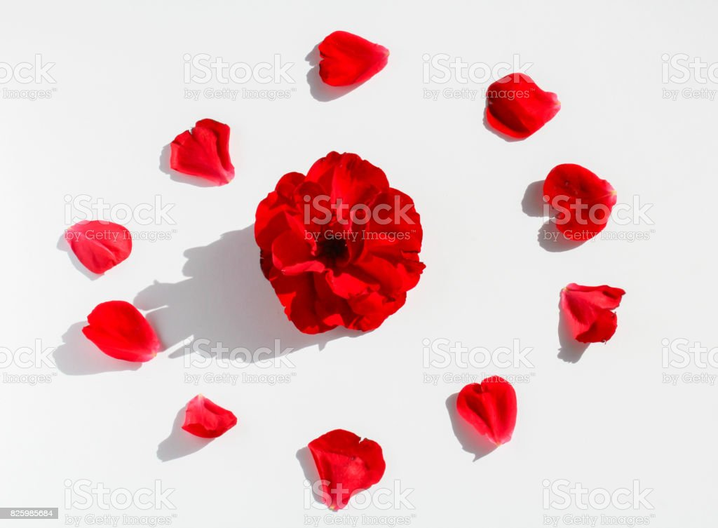 Red flower petals on white background designed to circle with blossom in center stock photo