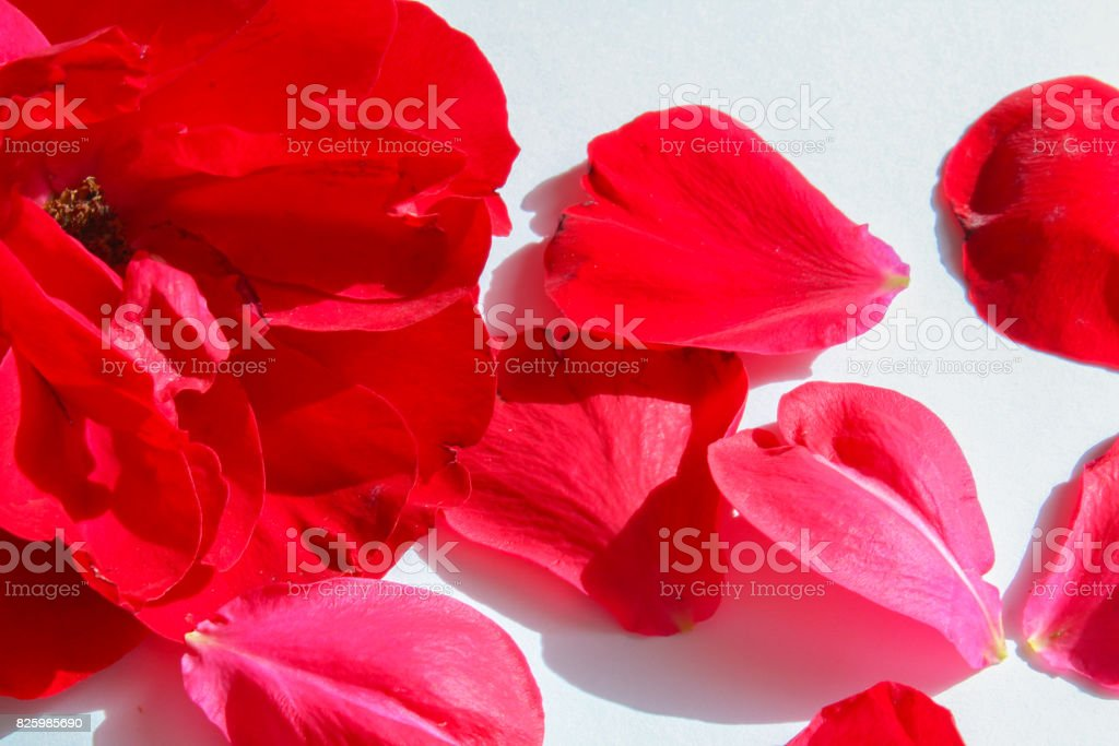 Red flower petals on white background, macro photo stock photo