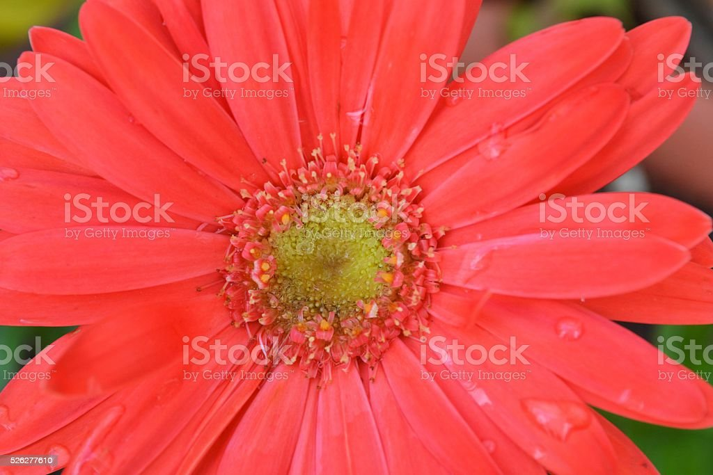 red flower stock photo