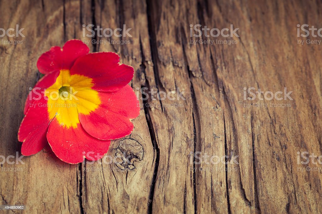 Red flower primrose on retro wooden background stock photo