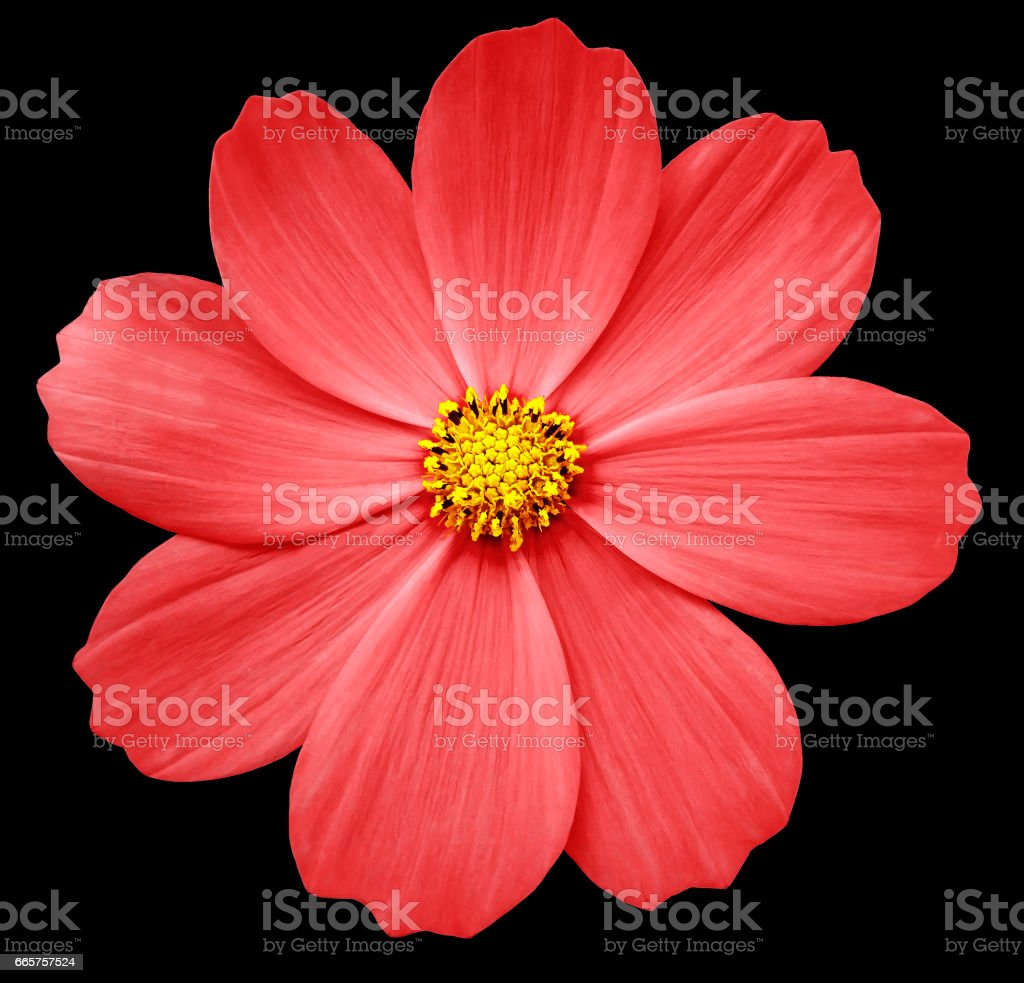 red flower Primula.  black isolated background with clipping path. Closeup.  no shadows. yellow center. for design.Nature. stock photo