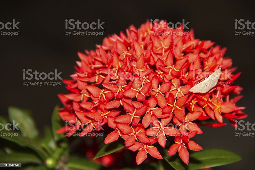 Red flower spike royalty-free stock photo