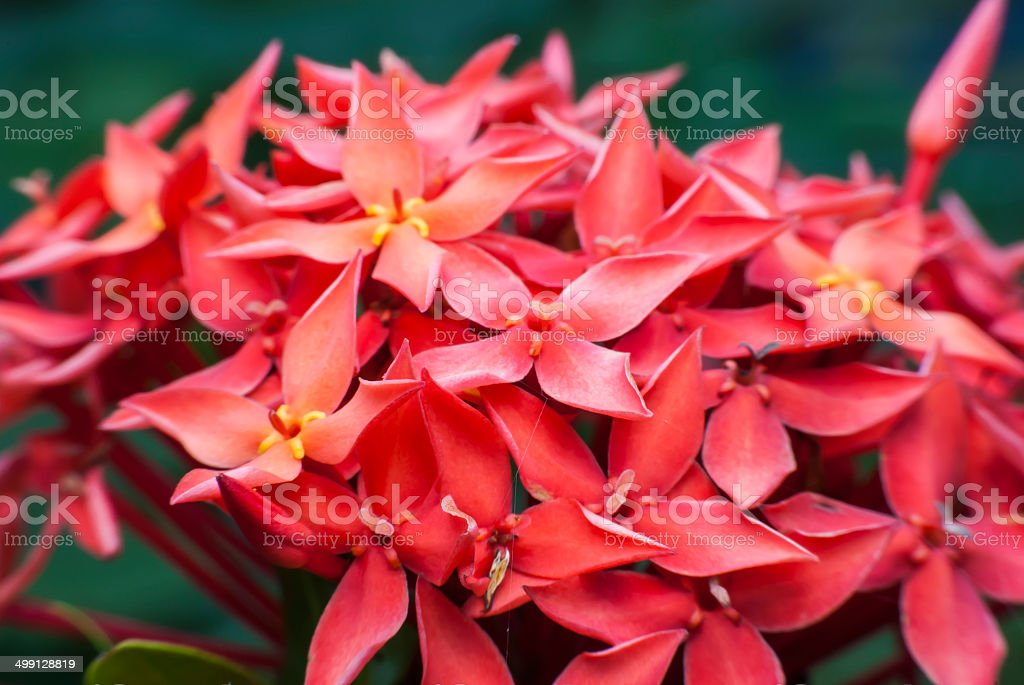 Red flower spike . royalty-free stock photo