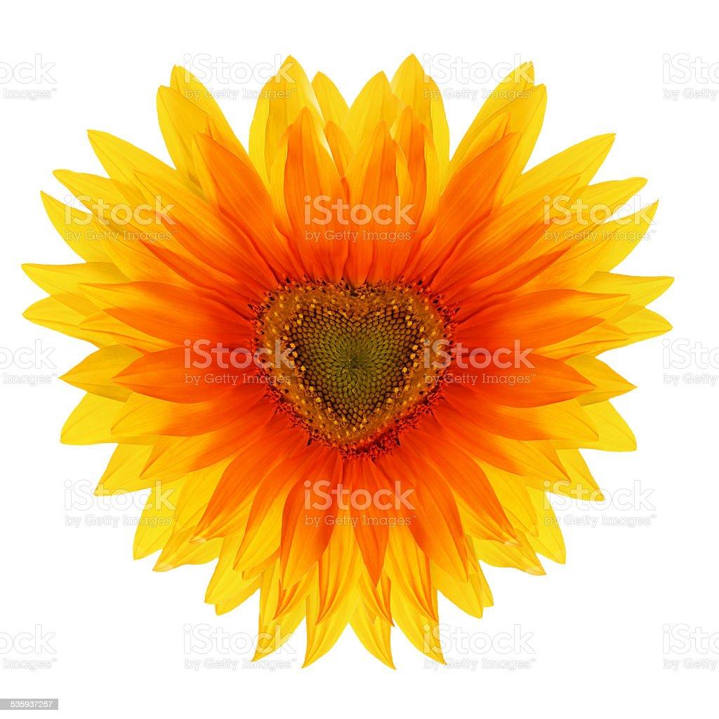 red flower sunflower in the shape of heart stock photo