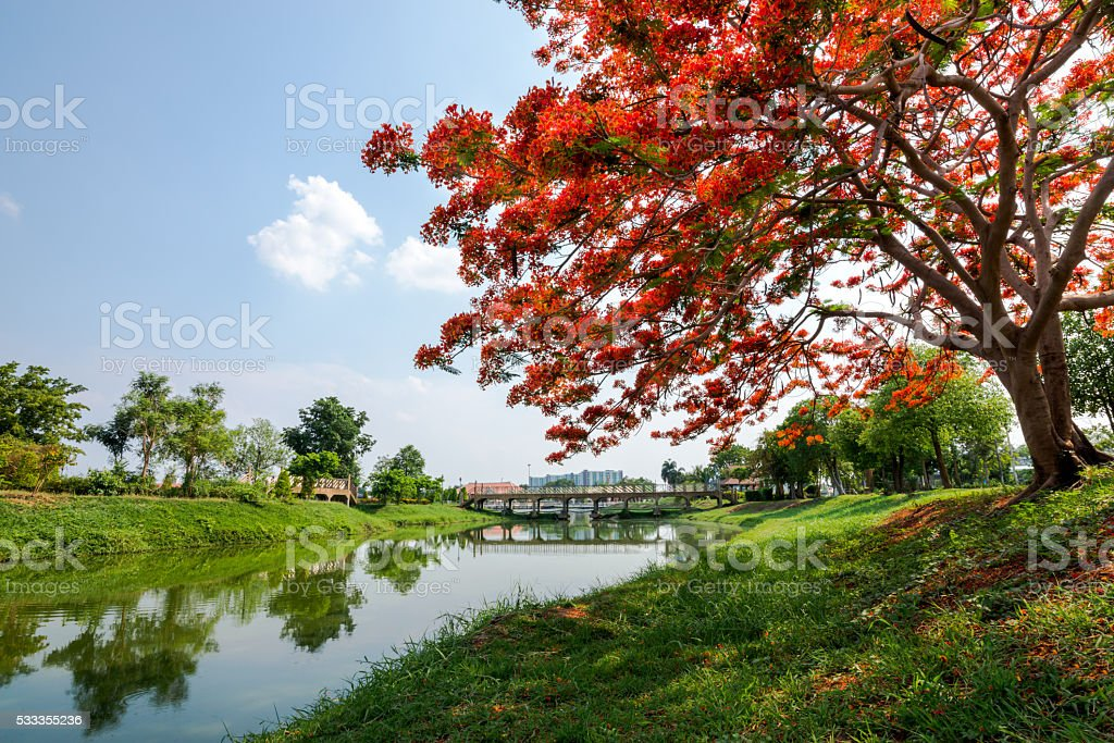 red flower tree in garden stock photo