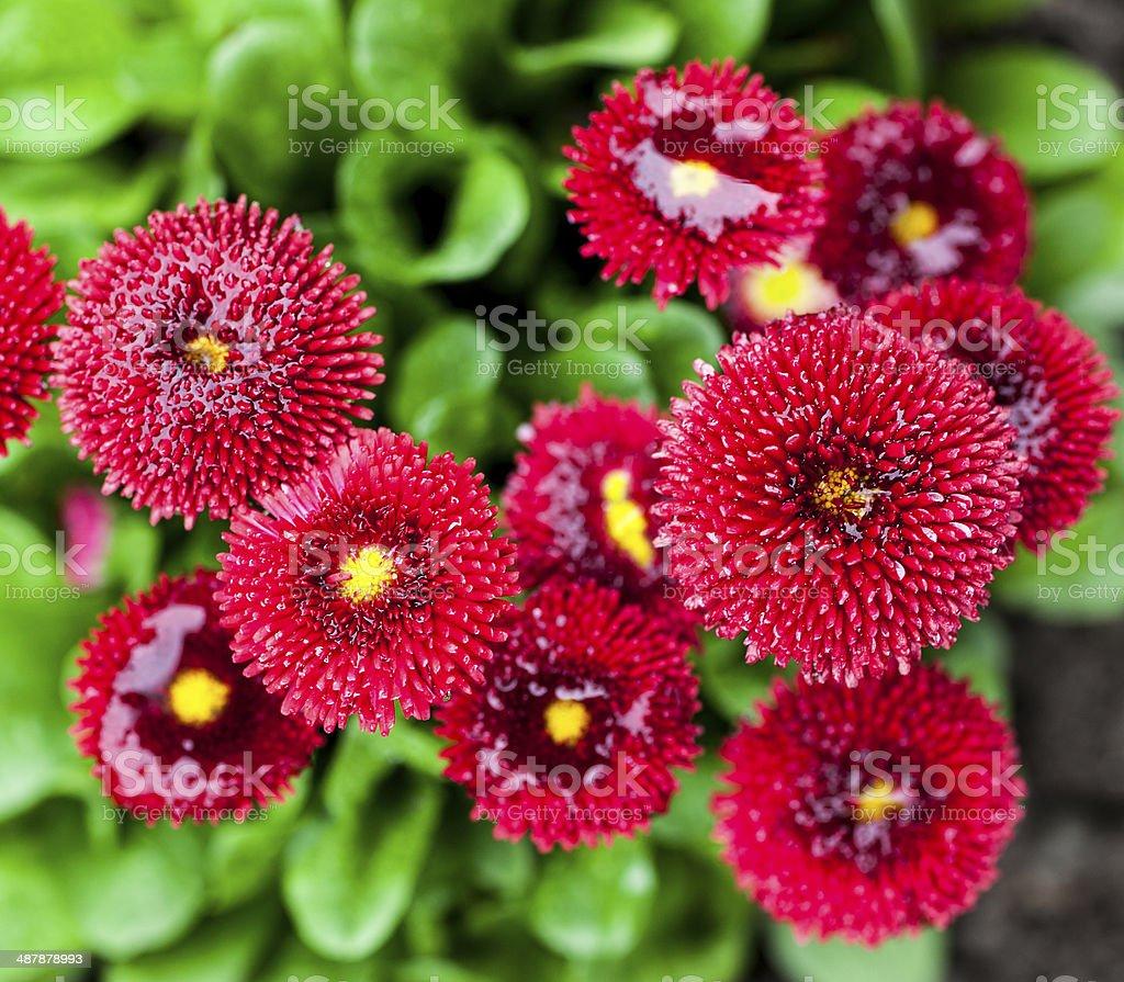 Красный цветок с жёлтым пестиком