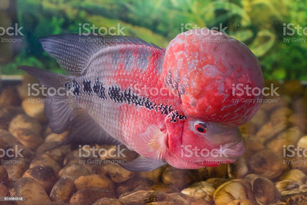 Red flowerhorn cichlid stock photo