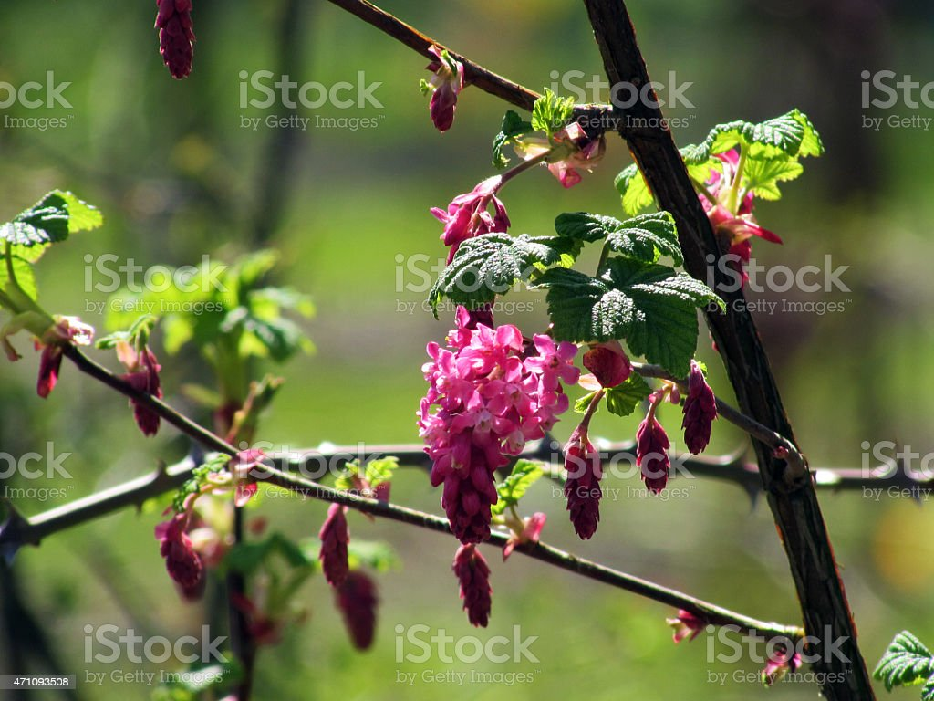 Red Flowering Currant stock photo