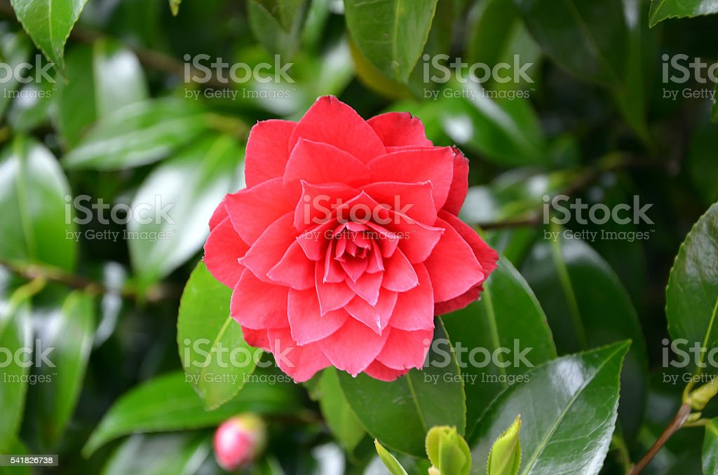 red flowering flower of camellia detail photography stock photo