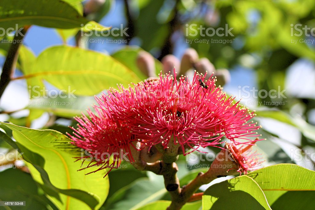 Red Flowering Gumnut with Ant stock photo