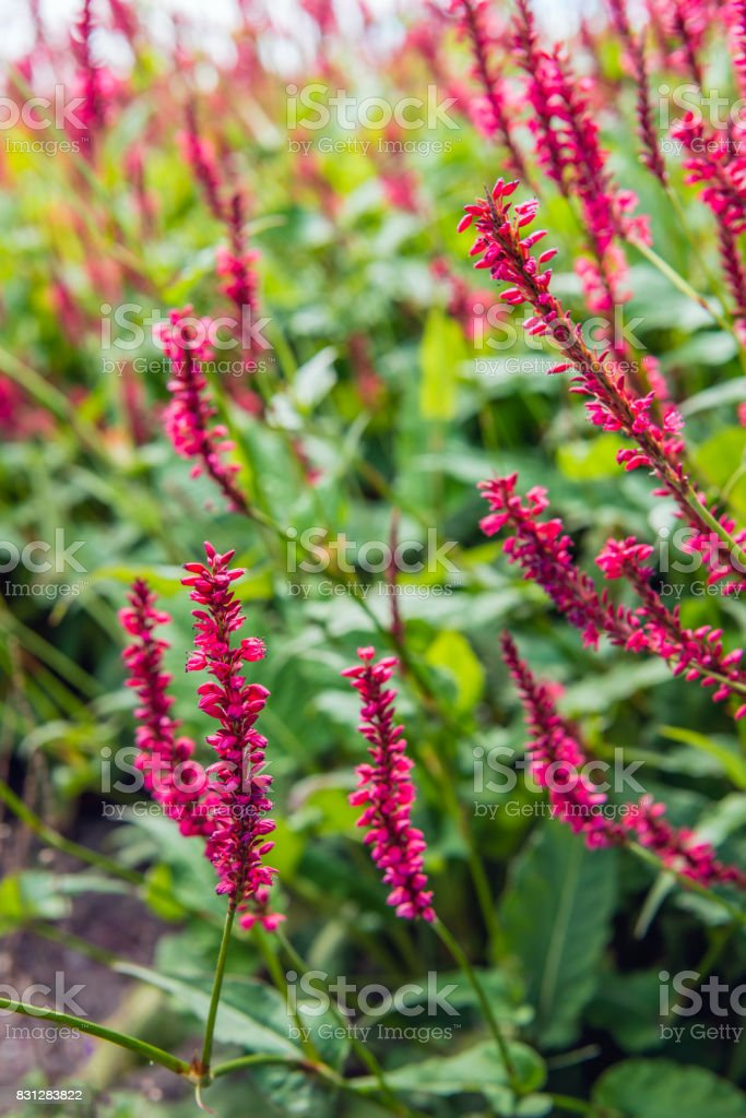 Red flowering Himalayan bistort plants from close stock photo