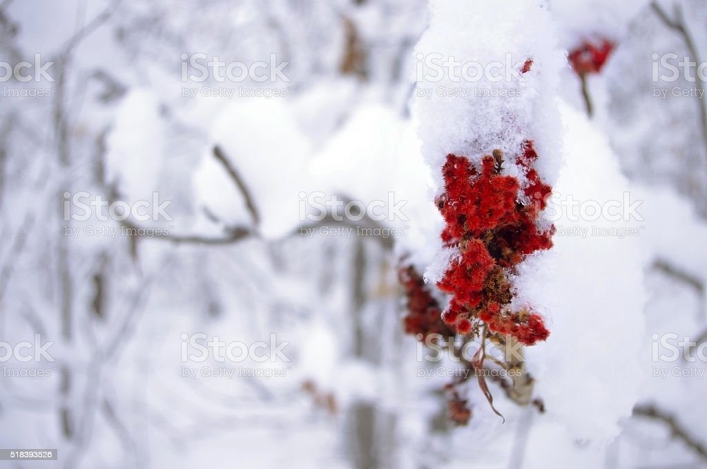 Red flowering tree covered in snow stock photo