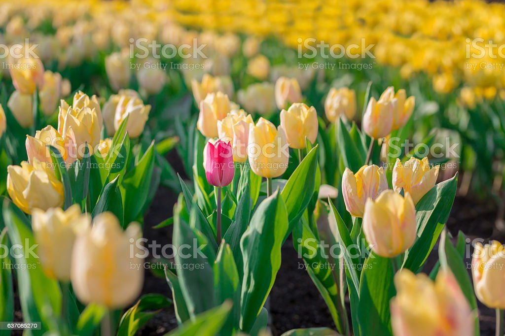 red flowering tulip differs from the many yellow blooming tulips stock photo