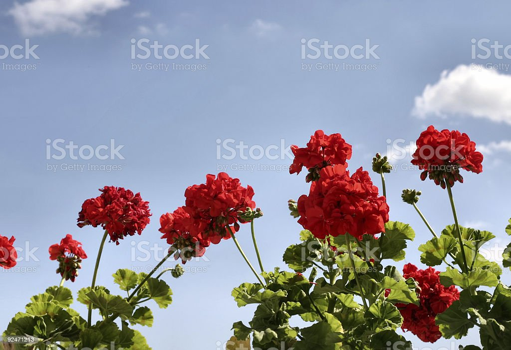 red flowers against the sky royalty-free stock photo