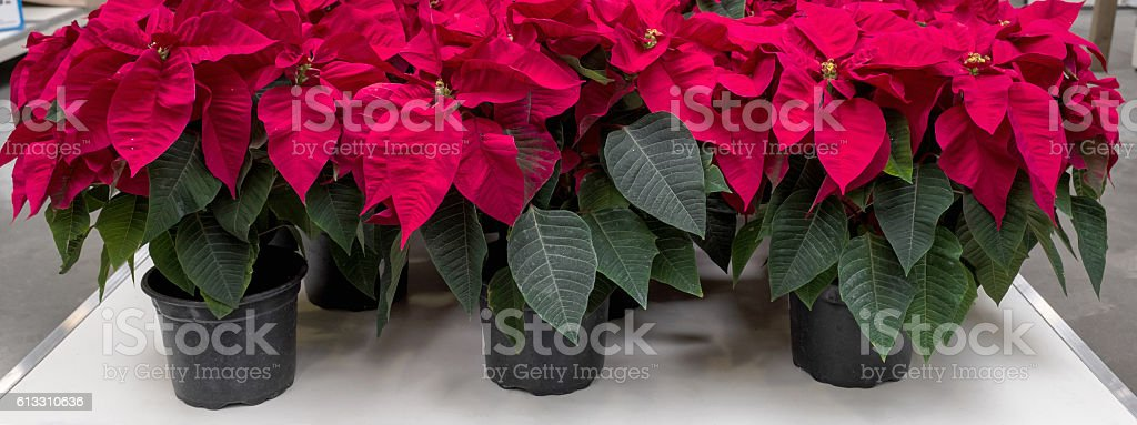 Red flowers for christmas holiday stock photo