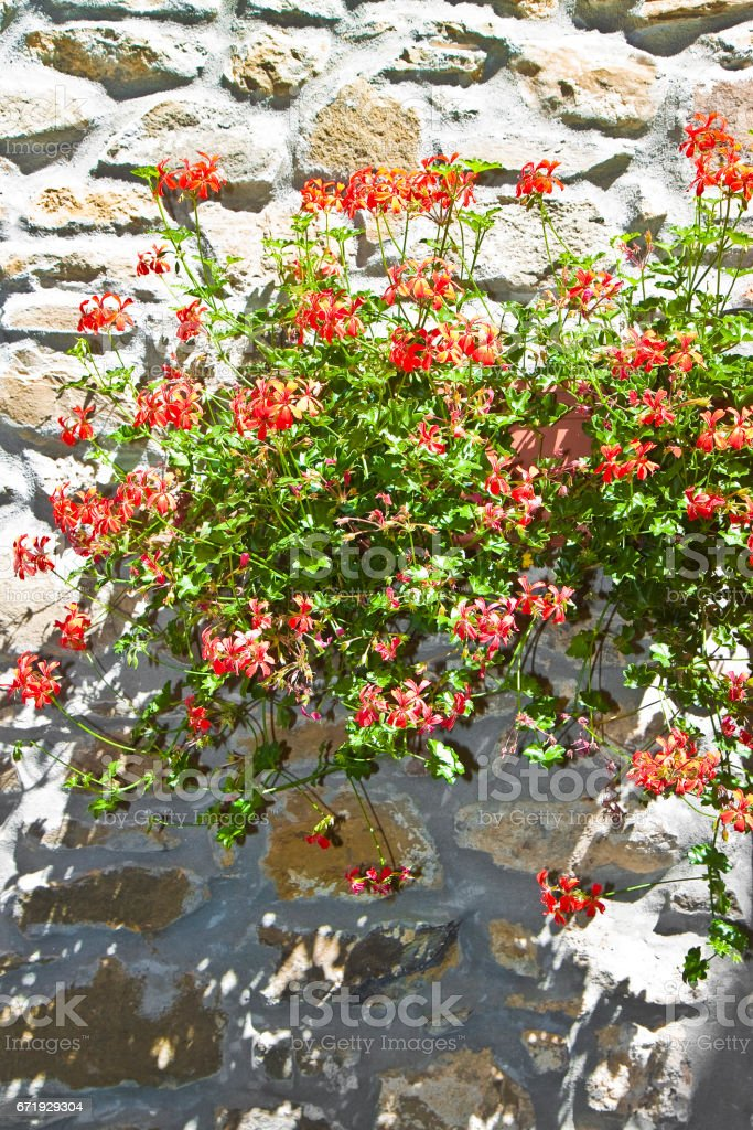 Red flowers hanging on old stone and plaster wall stock photo