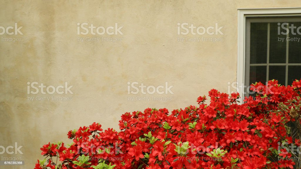 Red flowers in foreground against stucco background and window stock photo