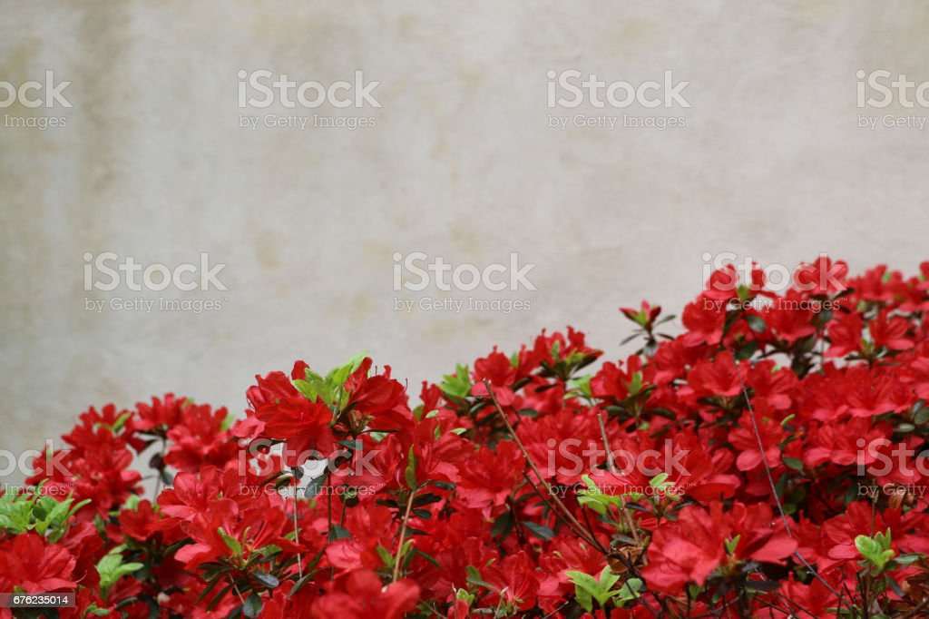 Red flowers in foreground against stucco background stock photo