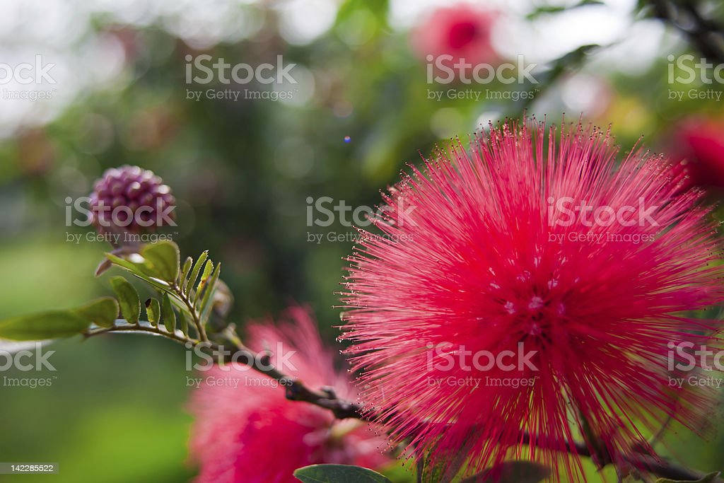 Red flowers of Calliandra haematocephala stock photo