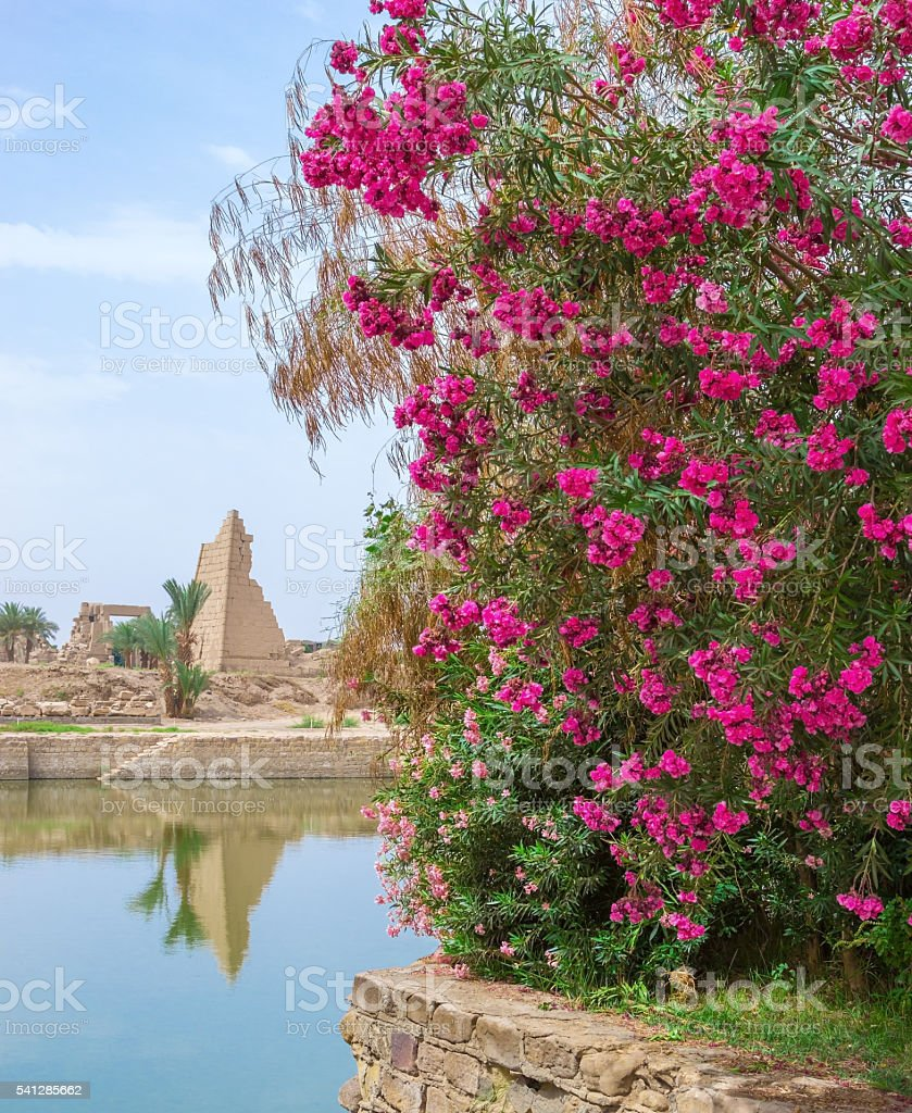 Red flowers on a background of a temple in Luxor stock photo