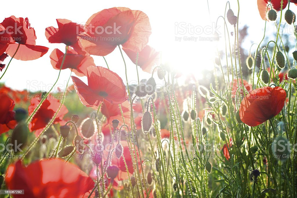 Red flowers on a field under the bright sunlight stock photo