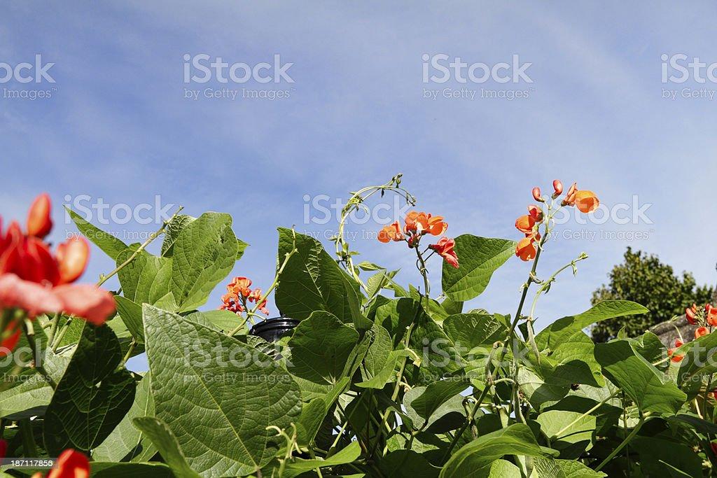 Red flowers on beanstalk Phaseolus coccineus stock photo
