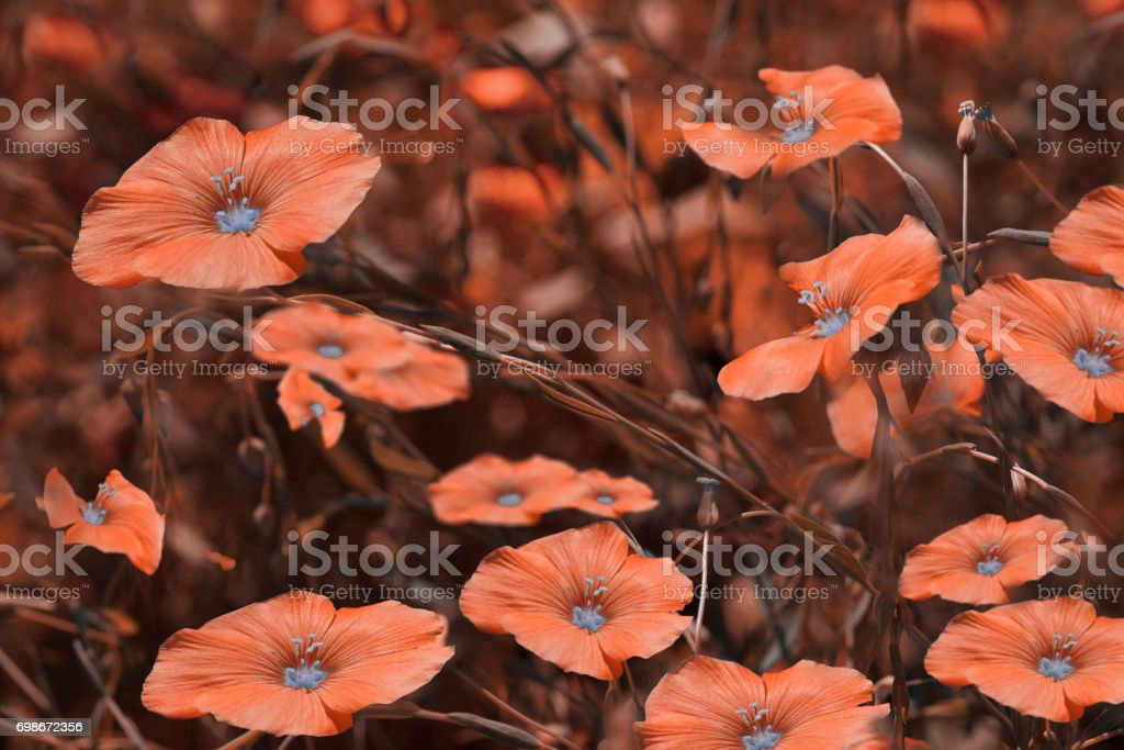 Red flowers on blurry  background. Floral background. Red wildflowers in the grass.Nature. stock photo
