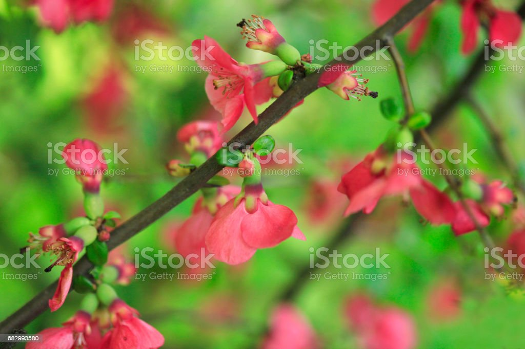 red flowers on spring tree stock photo