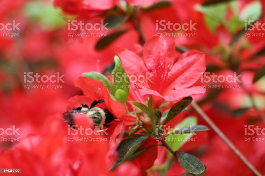 Red flowers with hidden bee stock photo