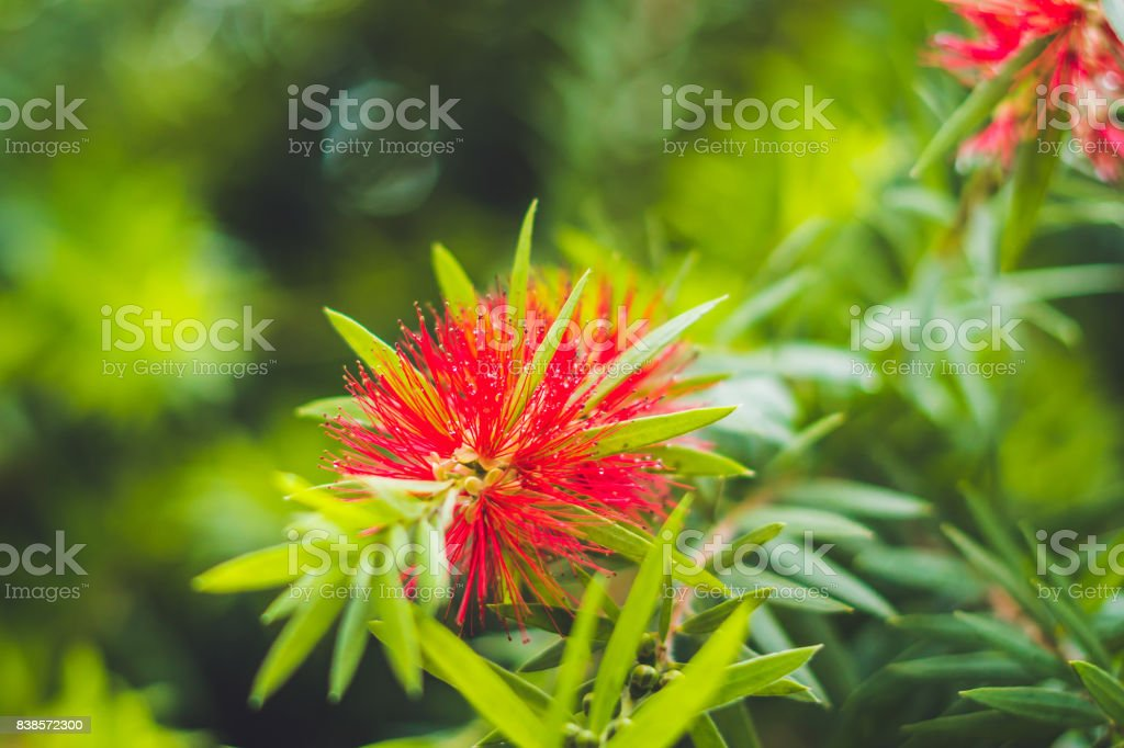 Red Fluffy Powderpuff Flower Blooming in The Garden stock photo