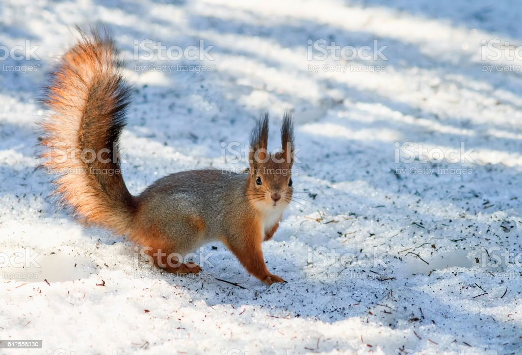 red fluffy squirrel in the snow looking for food in the winter in the woods stock photo