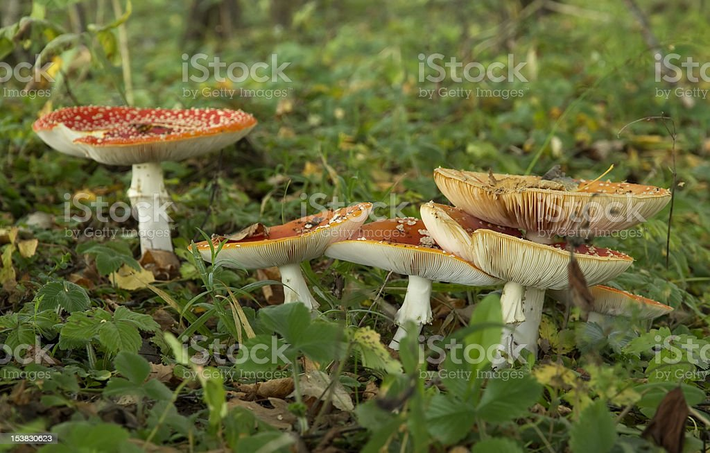 red fly agaric, Amanita muscaria royalty-free stock photo