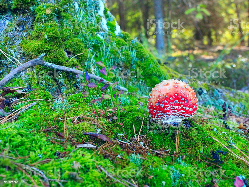 red fly agaric growing in the green moss near tree stock photo