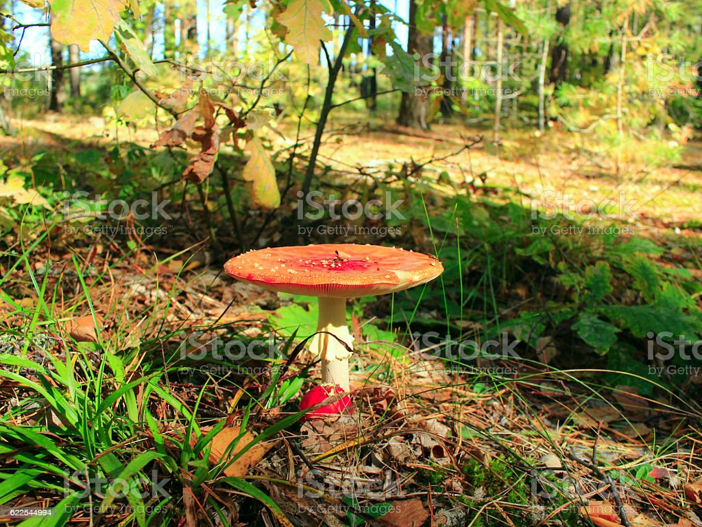 red fly agaric in the forest stock photo