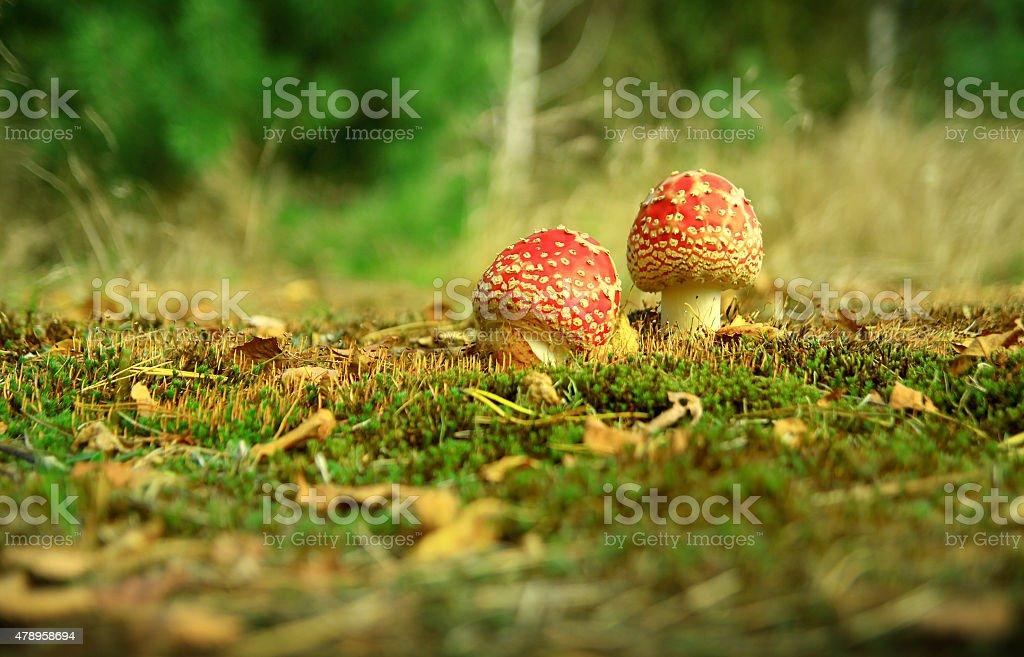 Red fly agaric mushroom stock photo