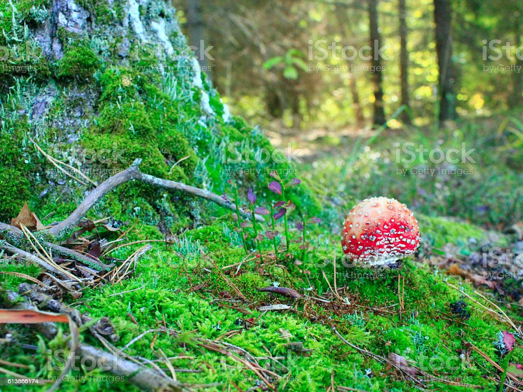 red fly agaric on the green moss in the forest stock photo